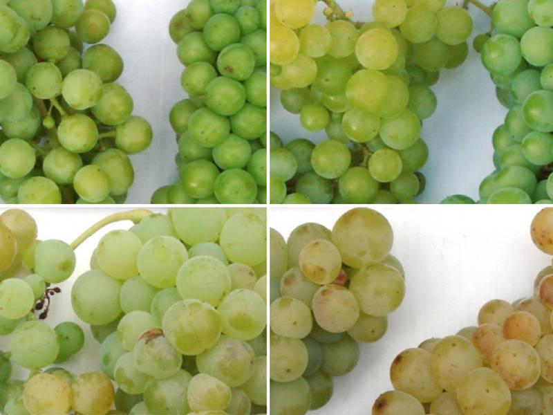 Das Geheimnis des Wein-Aromas