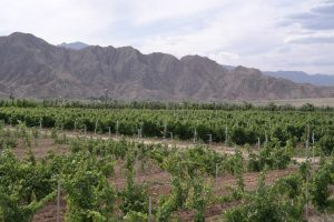 Weinbau in Ningxia: eine Oase in der Wüste