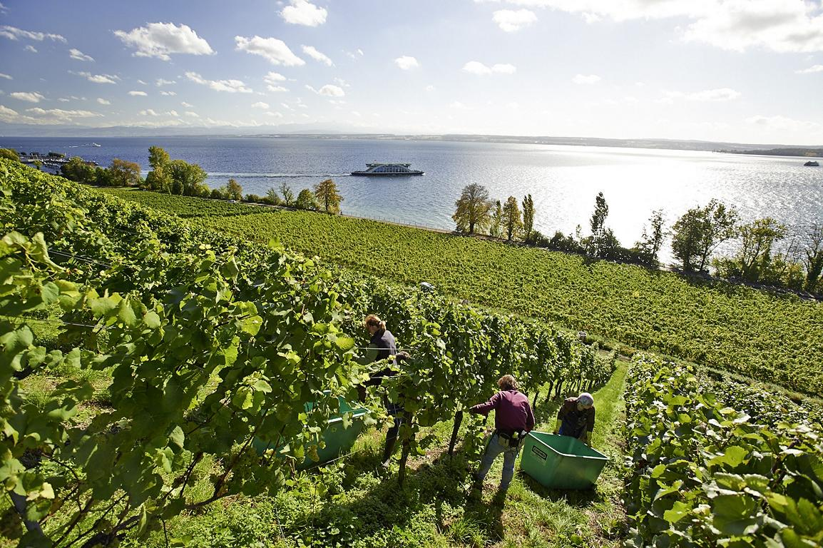 Weinlese im Staatsweingut Meersburg