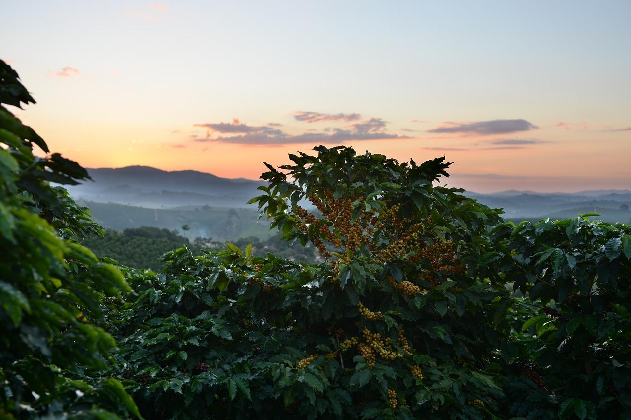 Kaffeepflanze Anbau