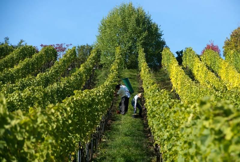 Wachsen oder Sterben? Strukturwandel im Weinbau