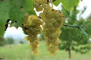 Rivaner – der deutsche Weißwein